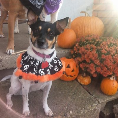 A small black and white dog dressed for Halloween named Mildred