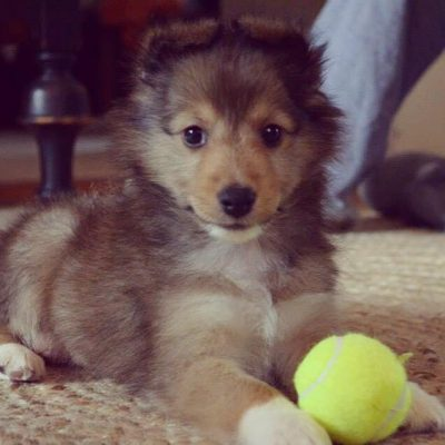A brown and tan puppy named Fable playing with a ball