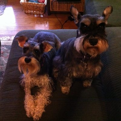 Two medium sized grey and white dogs named Smokey and Holly