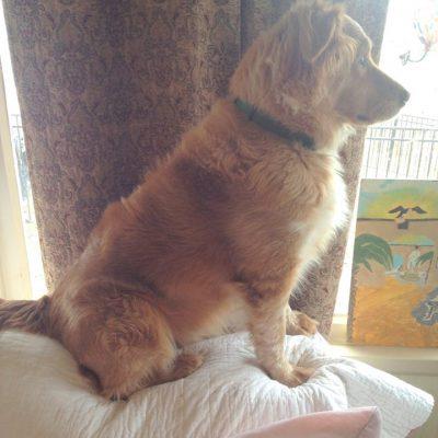 A medium sized golden dog named Byron