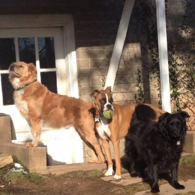 Three large dogs all standing together outside, two are tan and white and one is black