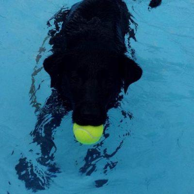 A black Lab named Bear swimming