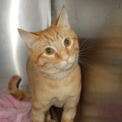 An orange cat named Sherbie