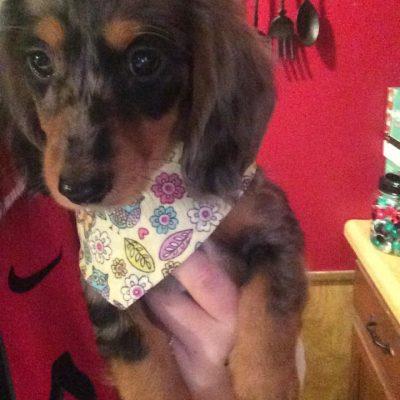 A grey, and tan Dachshund puppy